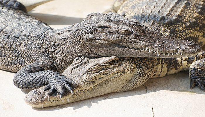 Sleeping Crocodile Couple at Crocodile Farm near Bangkok